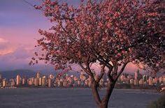 Springtime!  Cherry blossoms everywhere