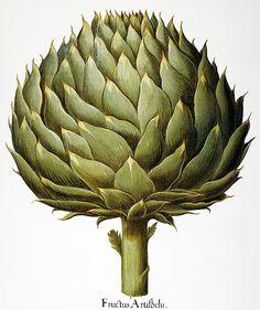 Cynara scolymus (globe artichoke)