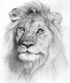 images pencil sketches of animals | Lion Pencil Drawings