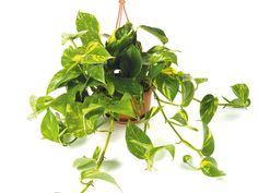 Viete, ktoré rastliny vás doma ochránia pred škodlivými látkami? | Môjdom.sk Indoor Plants, Projects To Try, Herbs, Gardening, Vegetables, Flowers, Plants, Inside Plants, Lawn And Garden