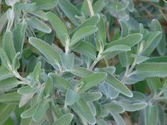 Buy Salvia leucophylla 'Point Sal'