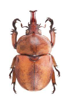 Ceroplophana malaysiana Rutelidae