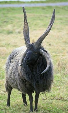 I think this is a goat/sheep hybrid...