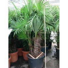 ente de palmier de Chine - multitroncs - 350 cm (trachycarpus fortunei)