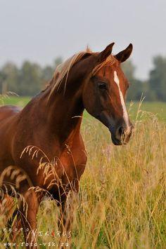 Arabian Horse Arabian Horse Show - Western Competition Egyptian Stallion Breeding Please visit barngirl.com for more.