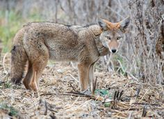 """""""On the Prowl""""   This coyote with a beautiful winter coat was sticking its nose in the underbrush, hunting for breakfast at Montaña de Oro State Park near Los Osos on Nov. 14.  Sent by: Sue Cook"""