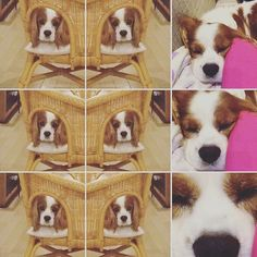 °C-ute  love  Zzzzz!  #キャバリア犬 #キャバリア#カムパネルラ  #キャバリア部 #大切な家族 #愛犬 #犬好き #かわいいいぬ #おやつ#すぐ寝る #老犬 #甘えん坊 鼻でか!  #campanella #lloveyoudog  #dog #family #aloha #japan #osaka #lovely  #no1  #ohana #halloweencostume #Halloween #doghalloween  #panpkinbiscuit #biscuitfood  #dogbiscuits #japan