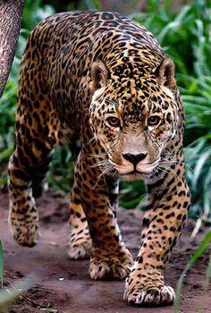 The Animal Blog leopard