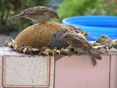 Sunflower head bird feeders on Vegetable Gardener