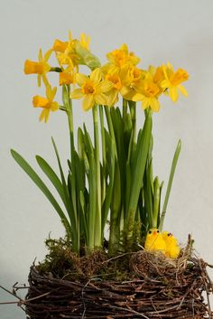 By Heather Rhoades Forcing daffodils into bloom is an excellent way to help stave off mid-winter blues. Seeing a bright yellow daffodil indoors while the daffodils outside are still fast asleep under snow is enough to bring a smile to anyone's face. Growing daffodils indoors is not difficult.