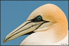 Northern Gannet up very close