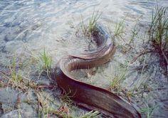 The Longfin eel source: NIWA