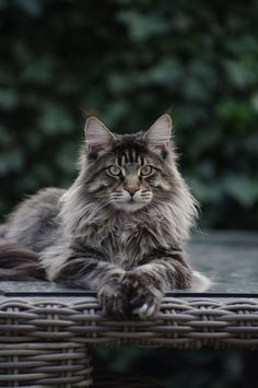 Long haired Tabby