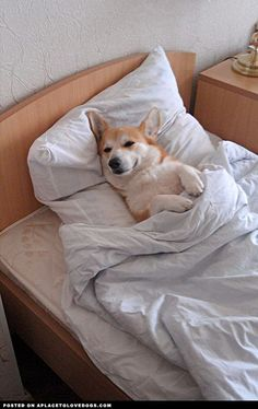 corgi pictures with funny sayings | Awwwwwwdorable Corgi pup all tucked in and ready for bed. Sweet dreams ...