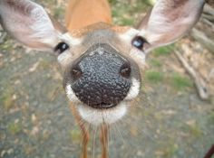 A close-up of a deer's nose. Dying.