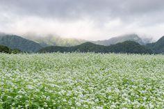 Morning of buckwheat field   by shinichiro*