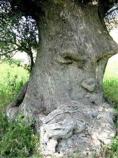 the grumpy old gum tree.I'm the grumpy old gum tree. Weird Trees, Enchanted Tree, Tree Faces, Magical Tree, Tree People, Tree Carving, Unique Trees, Old Trees, Nature Tree