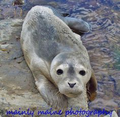 Seal pup on the Maine coast.