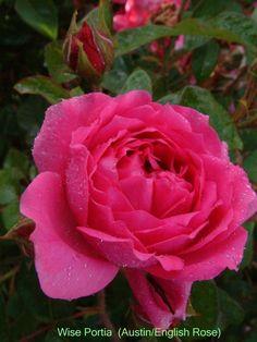Wise Portia - David Austin English Roses - Old Garden Roses - Rose Catalog - Tasman Bay Roses - Buy Roses Online in New Zealand
