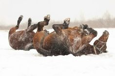 Picture of Two dark bay horses rolling on snow stock photo, images and stock photography. Horses In Snow, Wild Horses, Most Beautiful Animals, Beautiful Horses, Amazing Animal Pictures, Tomorrow Is A New Day, Winter Horse, Bay Horse, Majestic Horse