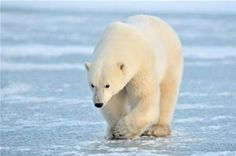 Niedźwiedzie polarne w Arktyce już odczuwają efekt cieplarniany   Aktualności o…