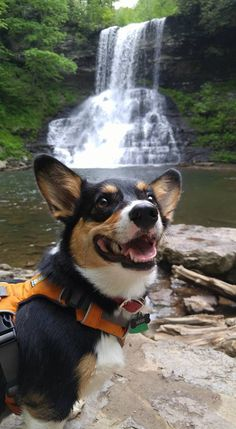 Waterfall Explorer - This guy makes me want to go on an adventure. Source - http://handsomedogs.com/
