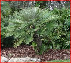euro fan palm | The European Fan Palm can resist temperatures below 20°F and it is ...