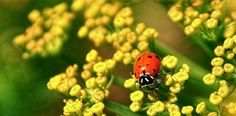 26 Plants that Attract Ladybugs