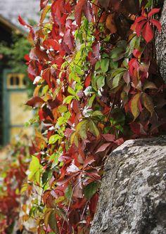 Istuta ruskakasveja, niin saat nauttia väriloistosta omassa puutarhassasi. Havukasvien seurassa syysvärit pääsevät esiin erityisen hyvin. Katso Viherpihan ideat kauneimpien ruskakasvien valintaan.