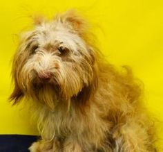 SCOTTY is an adoptable Shih Tzu Dog in Denton, TX. 3-5 YEARS OLD. AVAILABLE ON FRIDAY 8/2. SCOTTY is a 3-5 year old Shih Tzu/Lhasa Apso mix who was found as a stray. This poor boy needs some TLC but a...