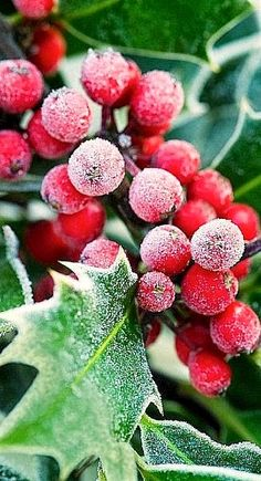 Frosty holly berries..