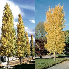 "Ginkgo biloba ""Princeton Sentry™"" Bag Please see our Tree Planting Guide and Guarantee before purchasing. Garden Trees, Trees To Plant, Planter Boxes, Planters, Replant, Modern Landscaping, Back Gardens, House Front, Garden Planning"