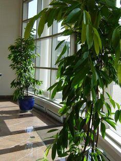 Ficus Amstel King Columnar