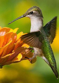 Colibrí, Son los pájaros más pequeños del mundo. Son originarios del continente americano. Antaño se les mató por miles a fin de decorar los sombreros femeninos,1 lo que posiblemente llevó al exterminio de varias especies.2