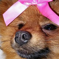 If I were a girl  #pomeranian #pomeranians #pom #pompom #dogsofinstagram #dog #petsofinstagram #dogs #pup #puppy #puppies #pet #pets #animal #animals #love #cute #cutepic #picoftheday #dogoftheday #instadog #instapet #cutedog #cutepuppy #cutedogs #cutepet