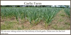 Dirt Goddess Garlic Farm is proud to be Certified Naturally Grown! This means we grow our garlic using only organic methods. No chemical fertilizers, no pesticides, no herbicides. Only good old fashioned Mother Nature and lots of hard work!