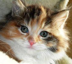 Calico kitten feline. looks like Bella as a kitten (i imagine)