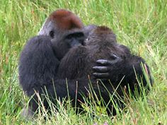 such emotion from these gorillas