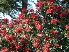 Christmas berry or Toyon with berries is what Hollywood was named after. Toyon will grow in most of Los Angeles with no water after first year.