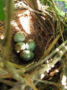 Bluebird Meadows: Mockingbird nest