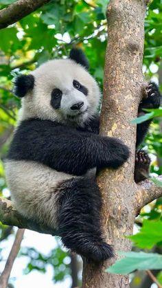 seeing pandas in Washington DC The Animals, Cute Baby Animals, Funny Animals, Niedlicher Panda, Panda Love, Cute Panda, Photo Panda, Panda Mignon, Baby Panda Bears