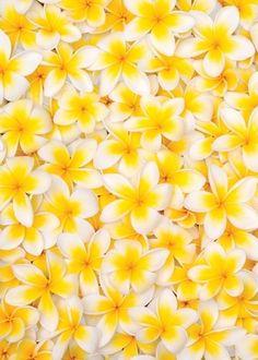 Flowers of Frangipani [Plumeria]