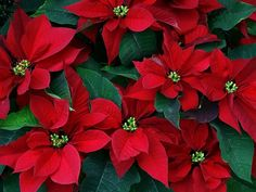 The poinsettia-пуансетия is a culturally and commercially important plant species of the diverse spurge family that is indigenous to Mexico and Central America. It is particularly well known for its red and green foliage and is widely used in Christmas floral displays. It derives its common English name from Joel Roberts Poinsett, the first United States Minister to Mexico,who introduced the plant into the United States in 1825.