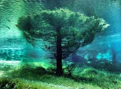 Submerged tree at Grüner See (Green Lake) in Austria.