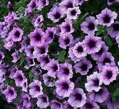 Superpetunia Bordeaux I don't buy any petunias anymore unless they are either superpetunias or waves.  They out perform the others hands down! Look at this gorgeous color!