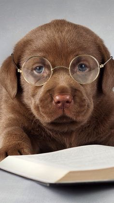 We have a report tomorrow beautiful dogs, animals beautiful, i love dogs, all Super Cute Puppies, Cute Baby Dogs, Cute Dogs And Puppies, I Love Dogs, Pet Dogs, Doggies, Pets, Labrador Retriever Chocolate, Chocolate Lab Puppies