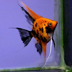 Very sturdy and well coloured Standard Koi Angelfish Colorful Fish, Tropical Fish, Angel Fish Tank, Oscar Fish, Fish Tank Design, Pisces Fish, Freshwater Aquarium Fish, Saltwater Tank, Water Life