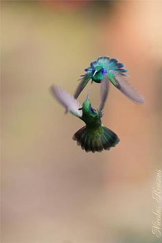 Beautiful Humming birds - Photo by Nicolas reusenes More at Beautiful Nature