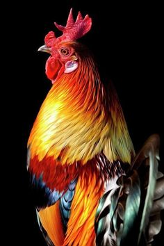 Rooster in all his feathered glory