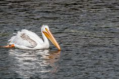 Pelican! A surprise in Yellowstone National Park.  Another of our affordable images of nature. Please visit our website, and feel free to share.